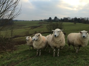 Lleyn ewes mid-pregnancy in Frant